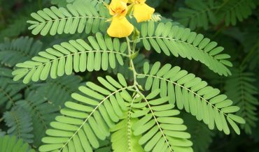 Chamaecrista glandulosa var. mirabilis