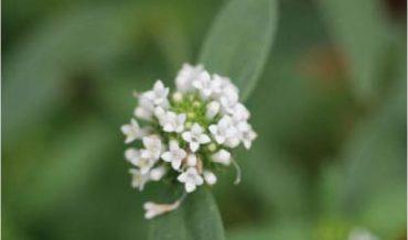 Mitracarpus maxwelliae Britton & P. Wilson