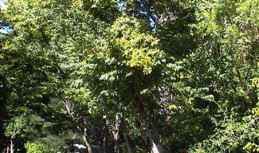 Stahlia monosperma (cóbana negra)