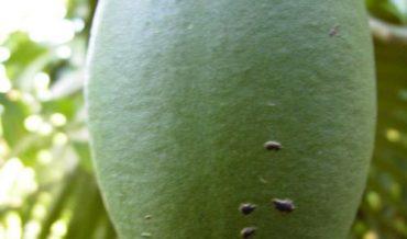 Crescentia portoricensis (higüero de sierra)