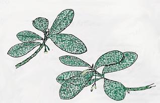 Daphnopsis hellerana