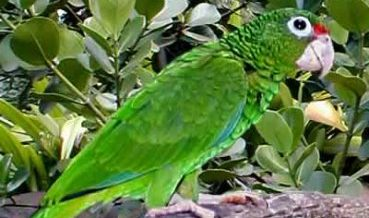 La Amazona vittata (cotorra puertorriqueña)