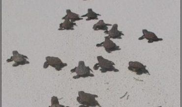 Tortugas marinas comunes