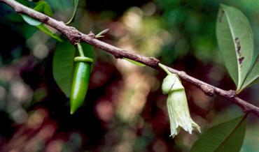Higüero de sierra – Crescentia portoricensis Britton