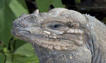 Cyclura stejnegeri (iguana de Mona)